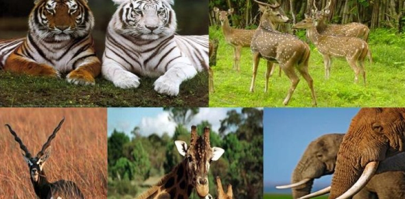 Which is the most endangered animal today?