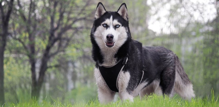 A husky is a type of dog that is generally bred to pull a sled on ice and snow. The dog has thick