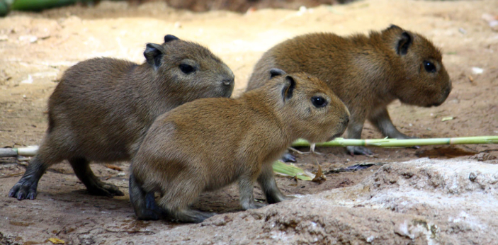 It's not that other animals are friendly to Capybaras, it is mainly because Capybaras are