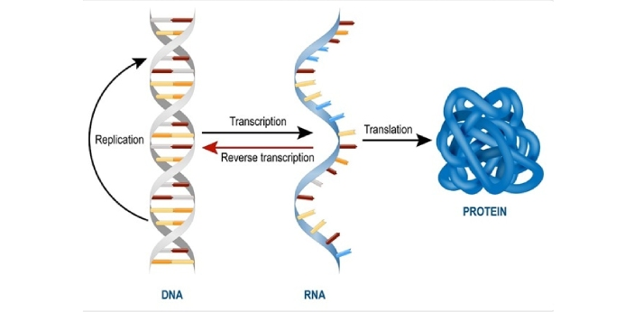 mRNA and tRNA are types of RNA. Messenger RNA, commonly known as mRNA, is synthesized by RNA