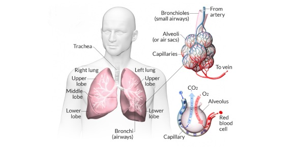 What muscles help the lungs work?