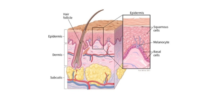 Basal cells and squamous cells are two types of cells located in epithelial tissues. The purpose of