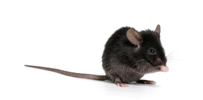 A mouse will ovulate every four to six days, depending on the mouse, the environment, and other