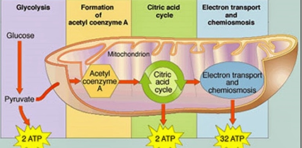 What is the correct sequence of electron travels during aerobic respiration?