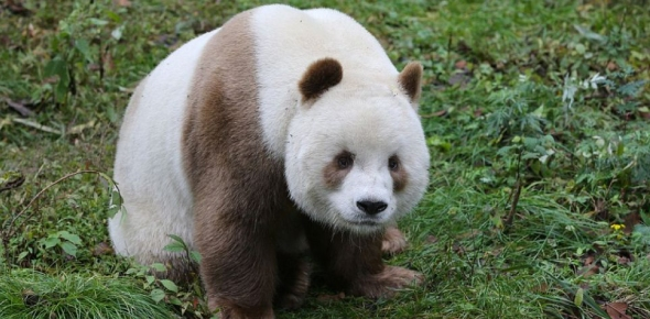Why did White Pandas require so much of time to repopulate even in controlled environments?