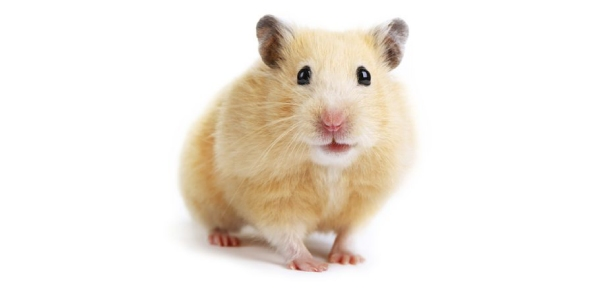 Where do hamsters originate from?