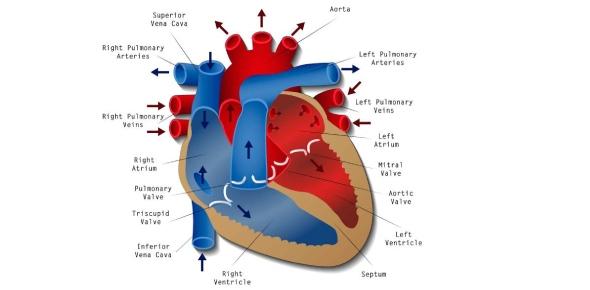 Is human heart myogenic or neurogenic?