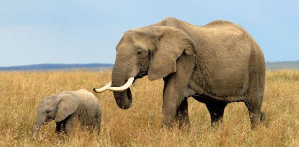 The average number of African elephants to die in the year 2018 was said to be around 13,600 that
