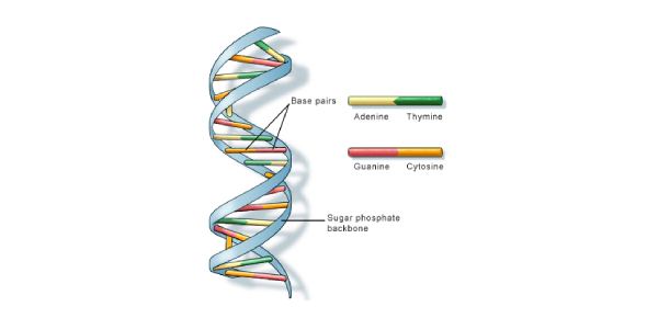 DNA is the abbreviation for DeoxyriboNucleic acids. DNA usually takes active roles during human
