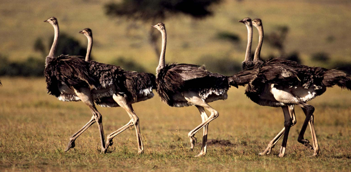 Today ostriches can only be found in South and Central Africa, with a modest amount in Australia.