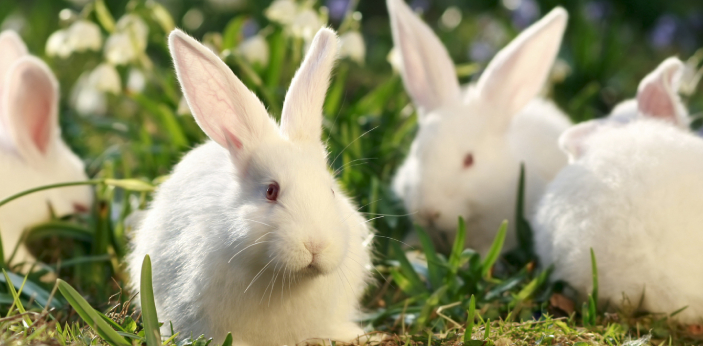 Glycol is used in rabbits because they already contain significant quantities of atropine. Rabbits