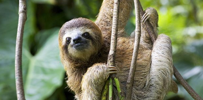 The answeris for 2 weeks. Sloths slow digestive systems are one of the reasons they are recognized