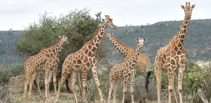 A giraffe's stride can reach fifteen feet when it has fully grown. This is the longest stride