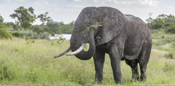 The size of an African elephant is something that can vary between African and Asian elephants.