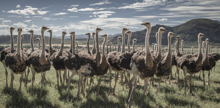 Ostriches were all over India about 25,000 years ago. Though it is native to Africa, several