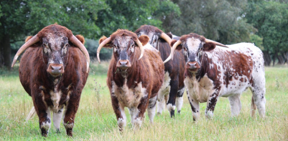 Over 1000 breeds of cattle are recognized worldwide, some of which adapted to the local climate,