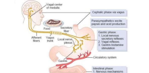 Which of the following is not a phase of gastric secretion?