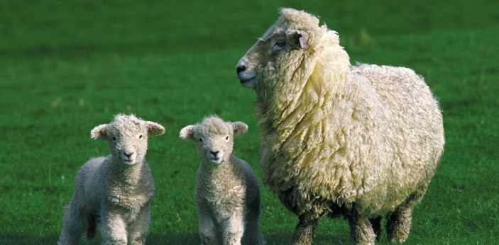The main difference between lambs and sheep is their age. When you say that the animal is over one