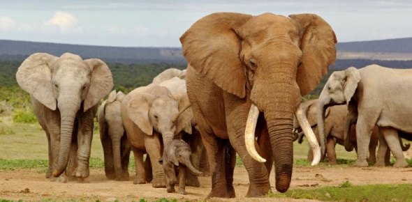 The African elephant isn't only the largest of animals in the world. It is also an animal