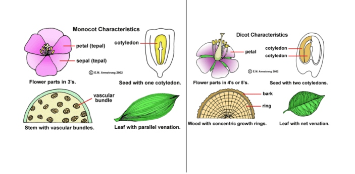 Plants can be separated into two different categories, namely monocot and dicot. Monocots only have