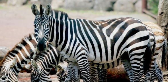 Like many animals, the only tame and domesticated animals are found in zoos or sanctuaries. Zebras
