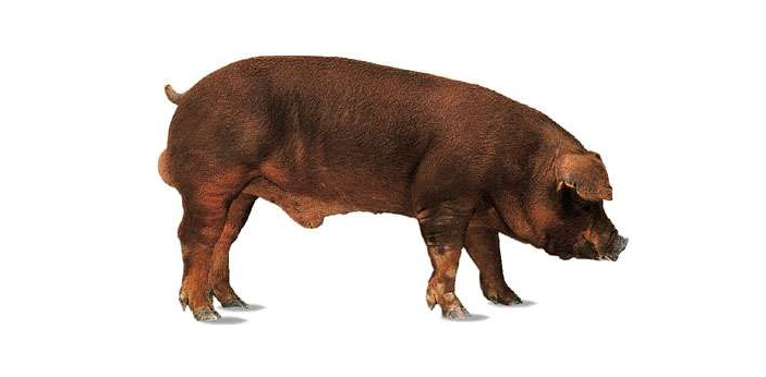 Pigs are domesticated animals, and they are known to be part of the Suidae family. They have stocky