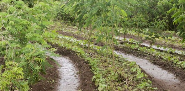 Agroforestry help conserve the soil and improve soil quality: it prevents and control soil erosion