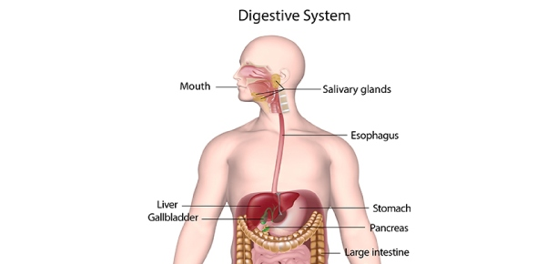 Where does most part of the digestion in small intestine take place in human body?<br/>