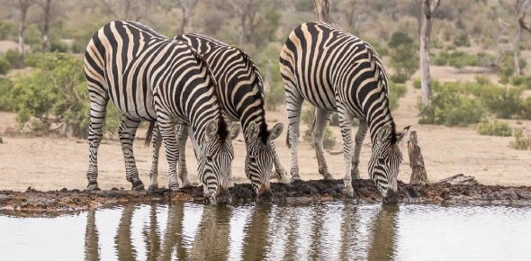The most obvious difference between a horse and a zebra is the appearance. Zebras have black and