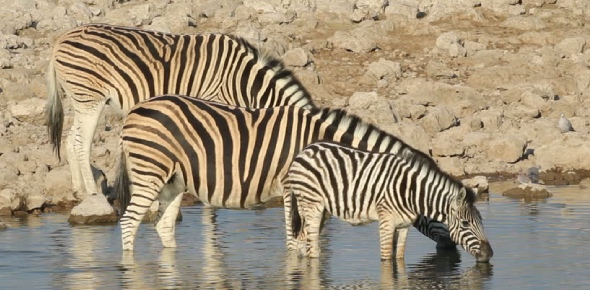 It depends which species of zebra you consider. The rare mountain lion However, zebras do differ in