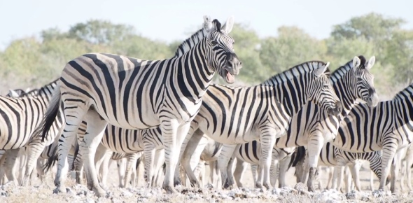 The project stems from a plan to reintroduce a version of the quagga, an extinct species of zebra,