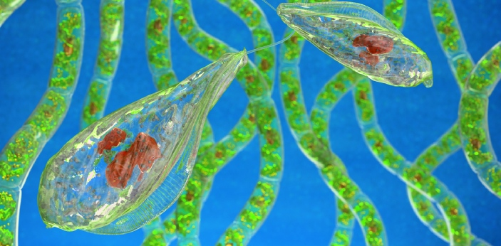 The significant difference between algae and protozoa is that algae are autotrophic plant-like