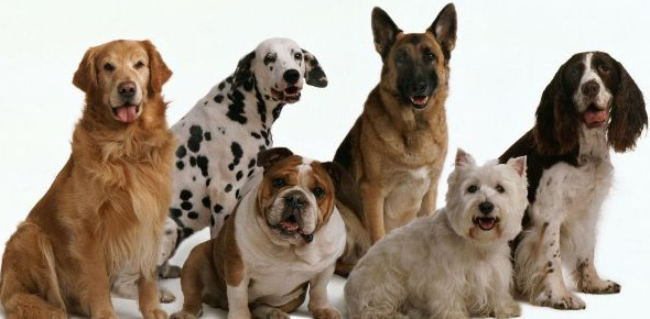 Which dog breeds do not have tails?
