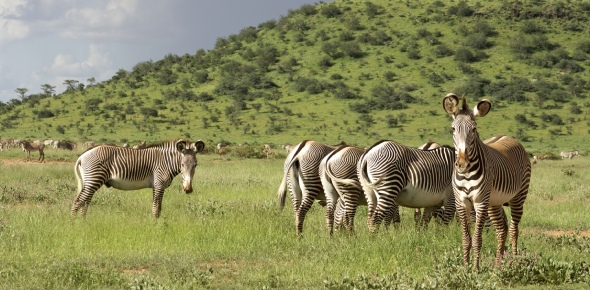 Compared to horses and donkeys, you cannot ride a zebra. They become very aggressive and vicious as
