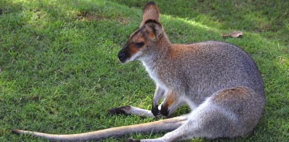 Can I have a Kangaroo as a pet?
