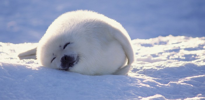 Baby seals are called pups. The males of land-breeding species tend to mate with a greater number