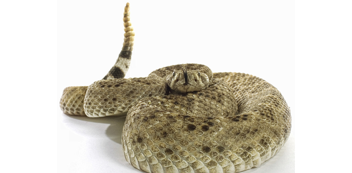 There are a lot of people who are not sure if snakes can hear. Even though there is no visible ear
