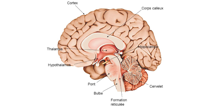 Thalamus and hypothalamus are both found in the diencephalon of the brain, and they are certainly