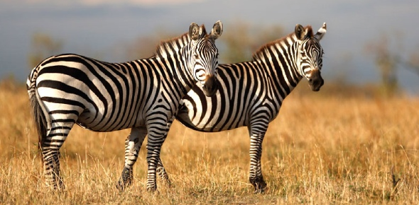 It is the lion that mainly seeks out zebras which make a hearty meal for them and their family.