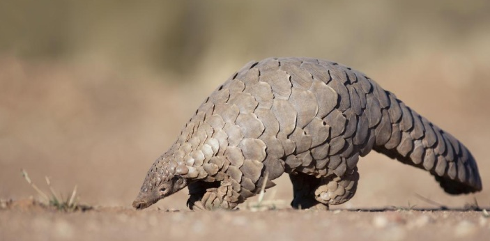 It's no news that pangolin is the most trafficked animal species in the world, but the reason