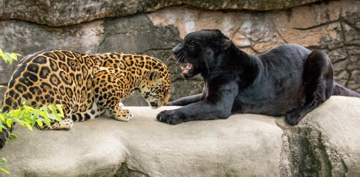 People may think that panthers and jaguars are the same in the beginning but these are two