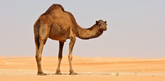Camels are unique animals who possess some distinctive features and are drastically different from