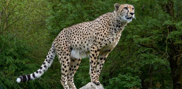 Do cheetahs ever hunt in groups?
