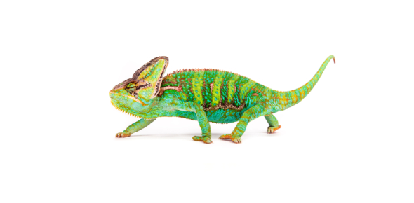 Is chameleon the only animal which can camouflage?