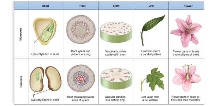 Monocots and dicots, also can be referred to as monocotyledons and dicotyledons are classes of