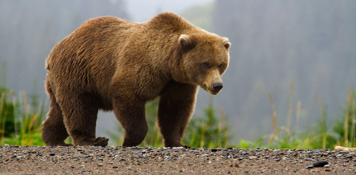 When you look at grizzly bears and brown bears, you may think that they look similar to each other.