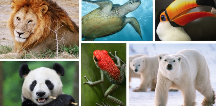 Endangered animals are animals who are at risk of going extinct. They are put on this list to bring
