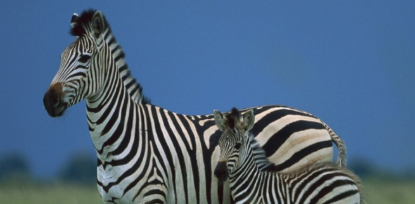 Anyone's guess, I think, why zebras have not been domesticated but it may be due to more