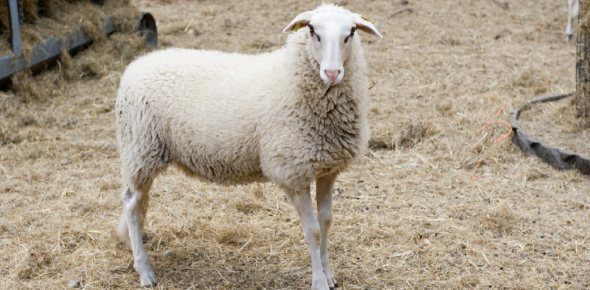 Which is the normal body temperature for a sheep in degrees Fahrenheit?