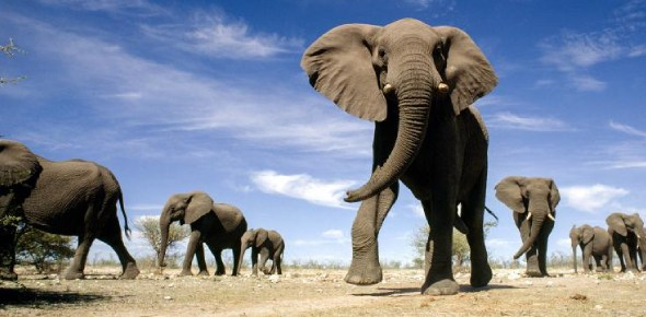 What is the use of elephant's tusk?